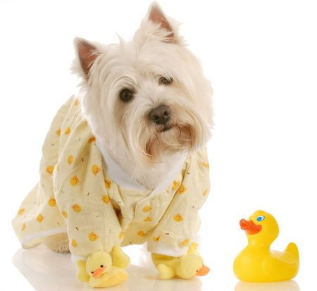 west highland white terrier wearing duckie jammies and slippers Stock Photo - 5276401