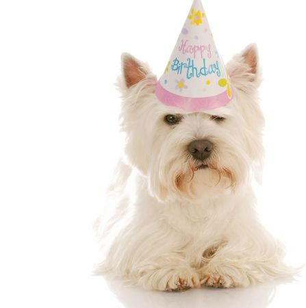 west highland white terrier wearing cute birthday hat photo