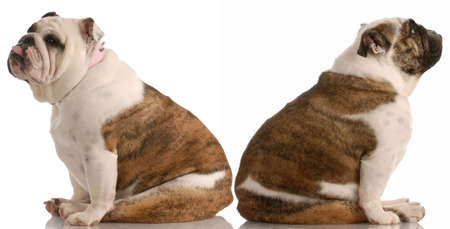 annoyance: two english bulldog having a fight or arguement Stock Photo