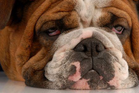 close up eyes: close up of ugly english bulldog with sad droopy eyes