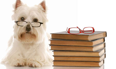 funny glasses: dog obedience - west highland white terrier laying down beside stack of books Stock Photo