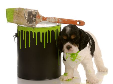 mischievous american cocker spaniel puppy with green paint can