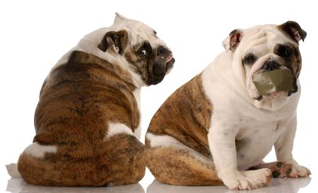 dog fight - two english bulldogs having an argument on white background photo