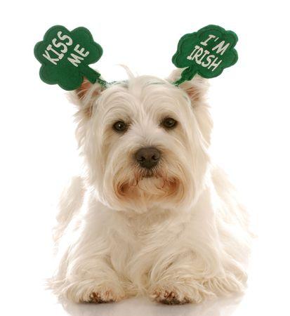 dog days: De perro el d�a de San Patricio - terrier blanco West Highland usando kiss me soy irland�s diadema Foto de archivo