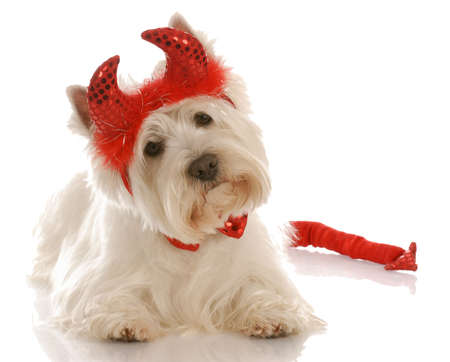 devilish: west highland white terrier dressed up as a devil
