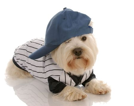 west highland white terrier wearing baseball uniform photo