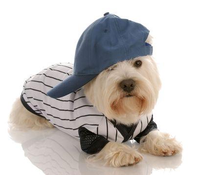 cute westie: west highland white terrier wearing baseball uniform Stock Photo