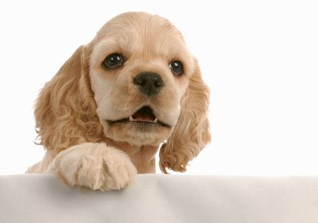 cocker: american cocker spaniel puppy with paw up on white background