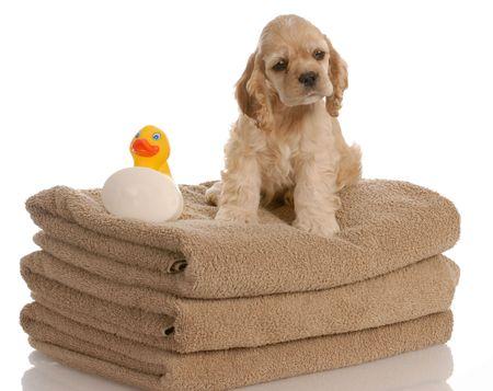 american cocker spaniel puppy ready for a bath photo