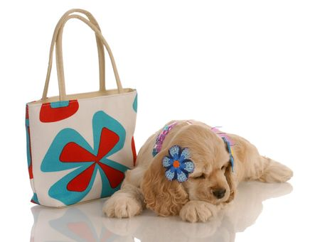 american cocker spaniel puppy laying down beside fashionable purse photo