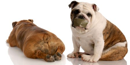two english bulldogs having a funny dog fight photo