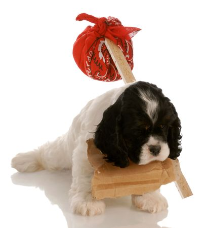 hobo: american cocker spaniel puppy with sign around neck and hobo pouch