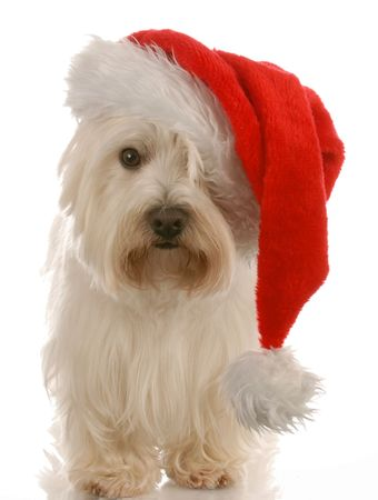 west highland white terrier wearing cute santa hat on white background photo