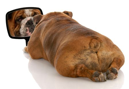 rear view mirror: beauty is skin deep - english bulldog looking at herself in the mirror