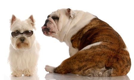 funny dog fight - english bulldog and west highland white terrier photo