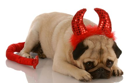 stocky: pug dressed up as a devil with guilty expression