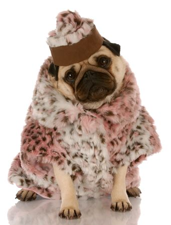 pug puppy: pug wearing leopard print fur coat and hat on white background Stock Photo