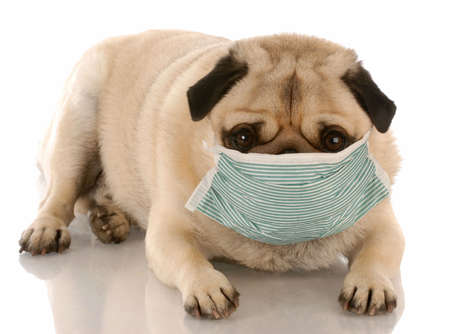 sick or contagious pug wearing a medical mask Stock Photo