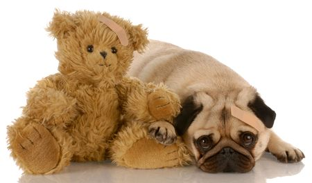 pug and teddy bear with matching medical bandaids photo