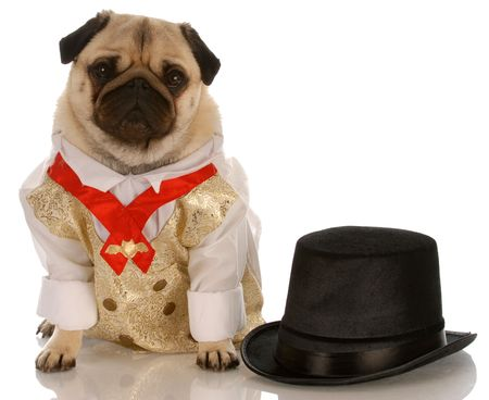 top: pug dressed up in formal wear with top hat