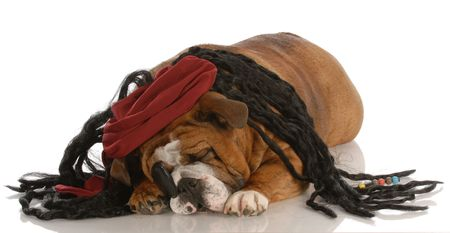 english bulldog dressed up as a pirate Stock Photo - 5585411