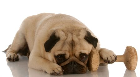 obedience dog - pug laying down beside dumbbell    photo