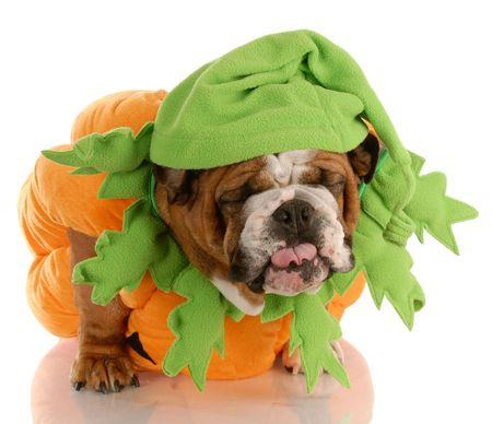 holiday pets: english bulldog dressed up as a pumpkin