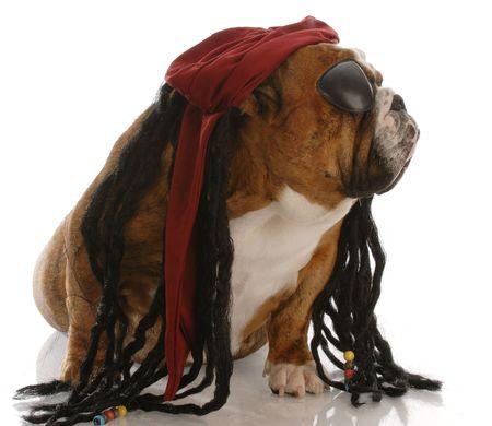english bulldog dressed up as a pirate Stock Photo - 5585436