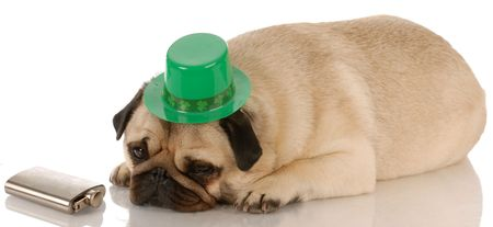 pug dressed up for St. Patricks Day on white background Stock Photo - 5585435
