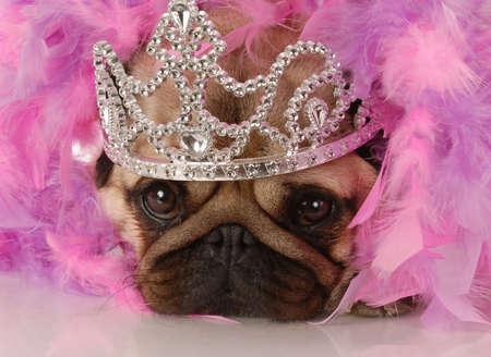 boa: spoiled dog - adorable pug dressed up as a princess