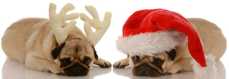 two pug dogs dressed up as santa and rudolph photo