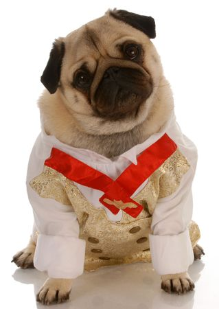 pug dressed up in mens formal shirt and tie photo