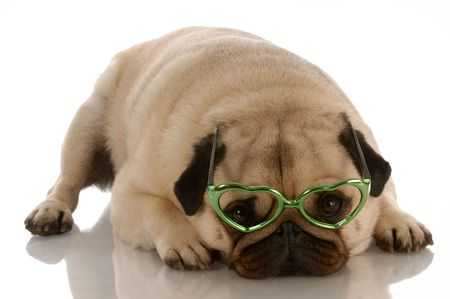 adorable pug wearing heart shaped glasses on white background photo