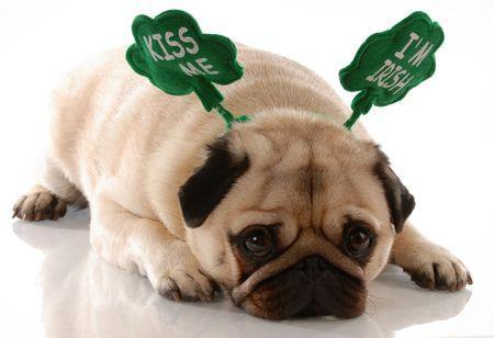 patrick: st. patricks day - pug wearing kiss me im irish headband    Stock Photo