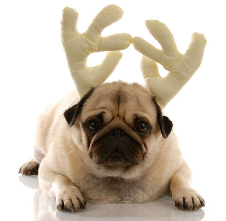 pug puppy: pug wearing reindeer antlers on white background
