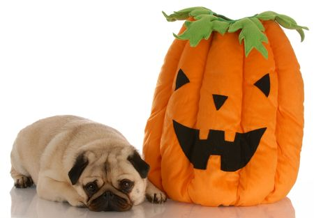 pug laying beside halloween pumpkin on white background photo