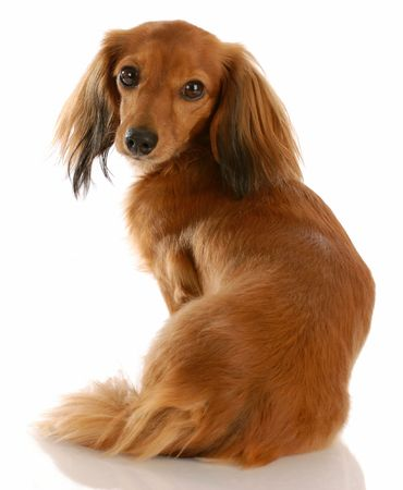 long haired dachshund with back to viewer looking at camera Stock Photo - 5630566