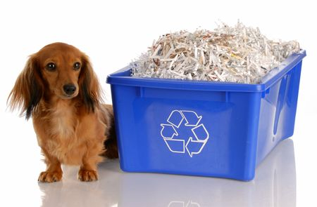 dispose: adorable dachshund sitting beside blue recycle bin