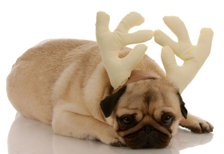 pug dressed up as rudolph on white background photo