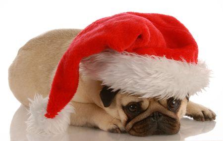 greeting christmas: pug dressed up as santa on white background Stock Photo