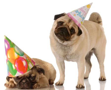 two pug dogs wearing cute birthday hats on white background Stock Photo - 5630575