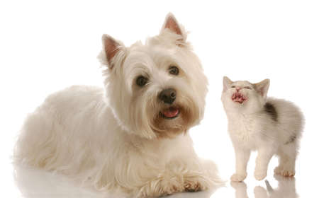 highland: west highland white terrier and kitten on white background Stock Photo