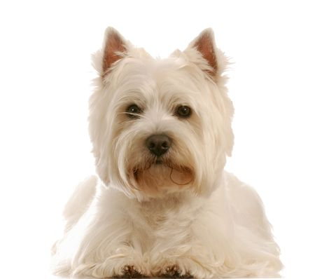 west highland white terrier laying down on white background photo