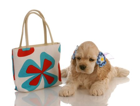 american cocker spaniel puppy laying beside colorful purse photo