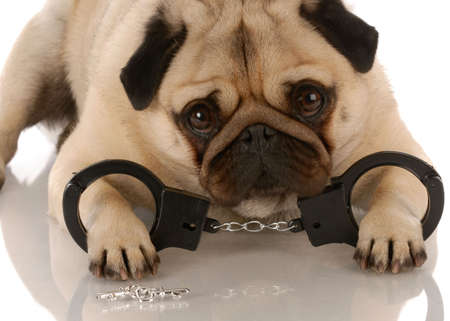 grooming: dog breaking the law - pug laying down with handcuffs and keys  Stock Photo