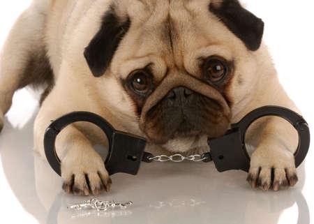 perro policia: perro violando la ley - pug establecen con esposas y claves  Foto de archivo