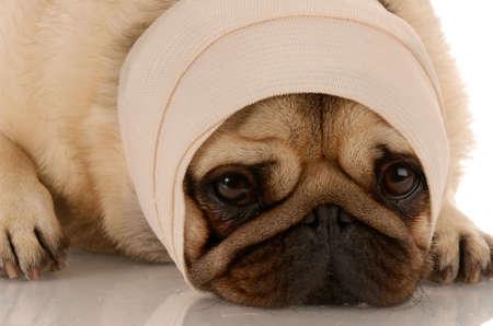 curitas: perro hospitalizado con un vendaje en la cabeza