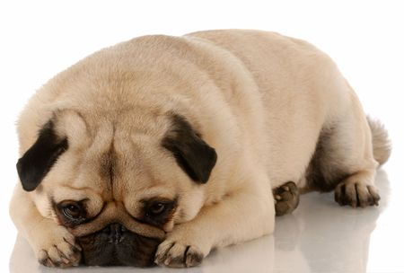 adorable pug with sad expression laying down photo