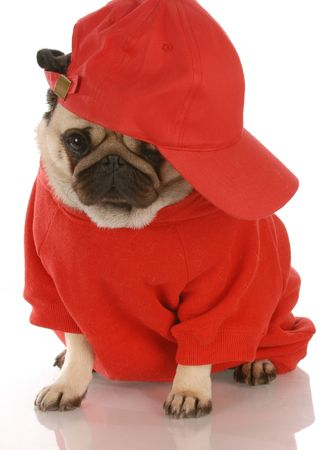 dodgers: adorable pug wearing red shirt and sports cap Stock Photo