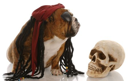 english bulldog dressed as a pirate for halloween Stock Photo - 5654462